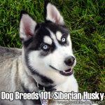 Dog Breeds 101: Siberian Husky!