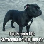 Dog Breeds 101: Staffordshire Bull Terrier