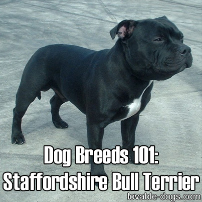 Dog Breeds 101 - Staffordshire Bull Terrier