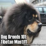 Dog Breeds 101: Tibetan Mastiff!