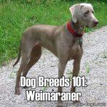 Dog Breeds 101: Weimaraner!