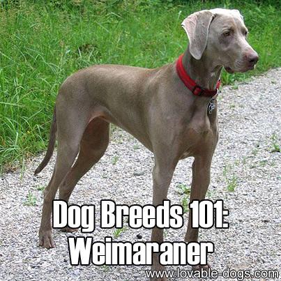 Dog Breeds 101 - Weimaraner