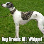 Dog Breeds 101: Whippet!