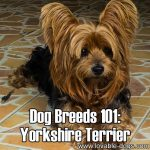 Dog Breeds 101: Yorkshire Terrier!