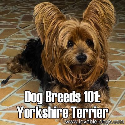 Dog Breeds 101 - Yorkshire Terrier