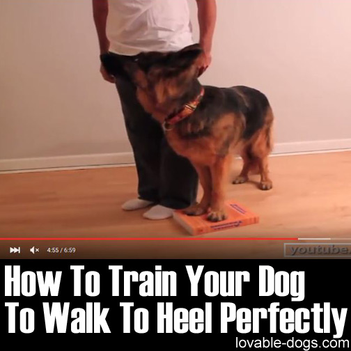 How To Train Your Dog To Walk To Heel Perfectly