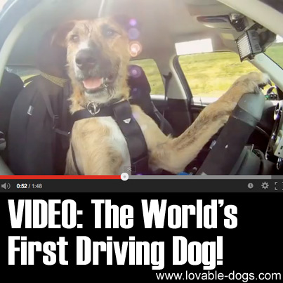 The Worlds First Driving Dog