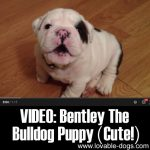VIDEO: Bentley The Bulldog Puppy (Cute!)