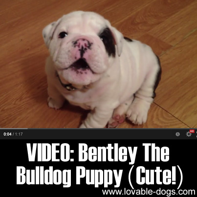 VIDEO- Bentley the Bulldog Puppy (Cute!)