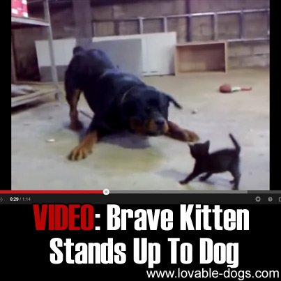 VIDEO - Brave Kitten Stand Up To Dog