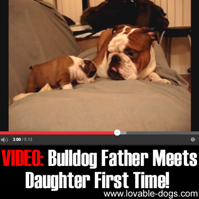 VIDEO - Bulldog Father Meets Daughter First Time