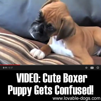 VIDEO- Cute Boxer Puppy Gets Confused
