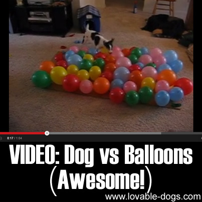 VIDEO - Dog vs Balloons