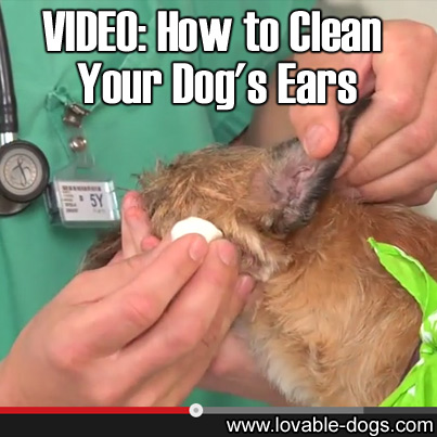 VIDEO - How to Clean Your Dog's Ears