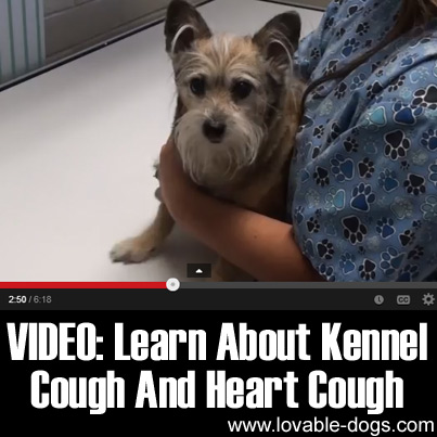VIDEO- Learn About Kennel Cough and Heart Cough