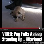 VIDEO: Pug Falls Asleep Standing Up – Hilarious!!