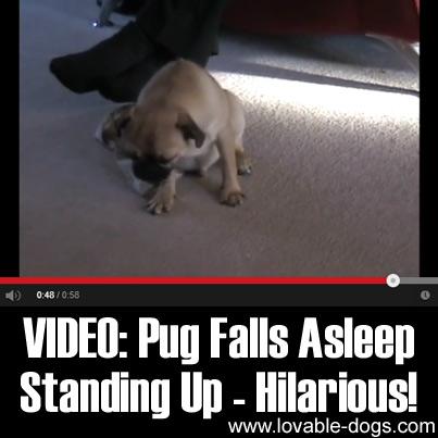 VIDEO- Pug Falls Asleep Standing Up - Hilarious