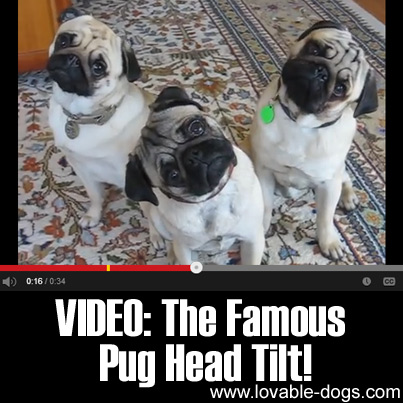 VIDEO - The Famous Pug Head Tilt