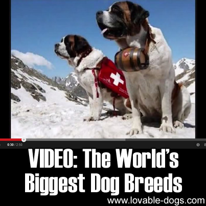 VIDEO - The World's Biggest Dog Breeds