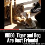 VIDEO: Tiger and Dog Are Best Friends!