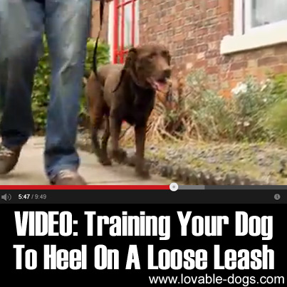 VIDEO - Training Your Dog To Heel On A Loose Leash