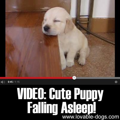 Video - Cute Puppy Falling Asleep