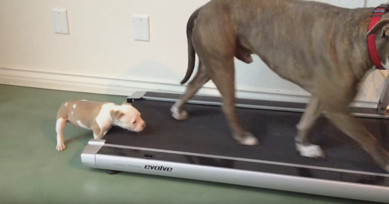 Bandit The Pitbull Puppy's First Workout