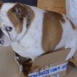 Bulldog Tries To Sit In A Box That's Too Small For Him