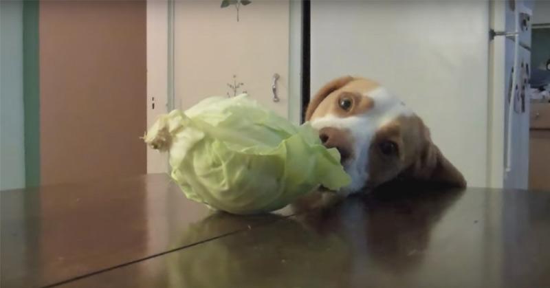Dog Steals Cabbage Cute Dog Maymo