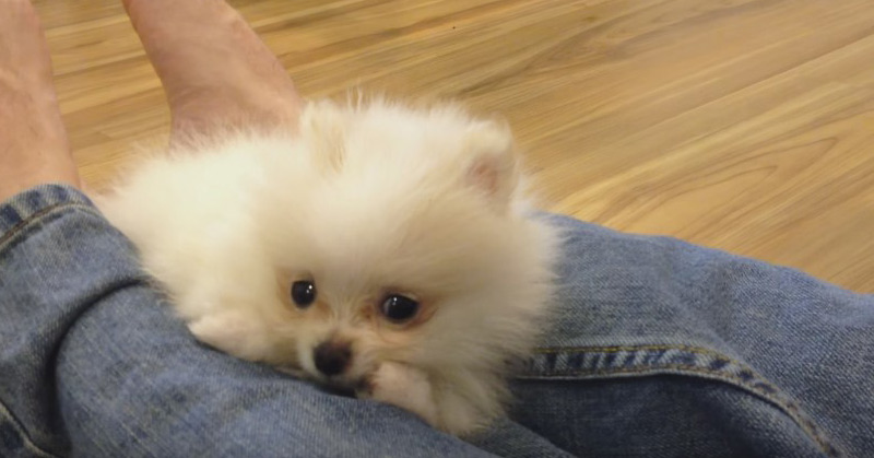 Lovable Dogs Our Tiny White Micro Teacup Pomeranian Puppy Lovable Dogs
