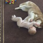 Siberian Husky Plays Gently With Baby