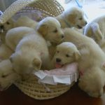 So Many Golden Retriever Puppies! (Cute Compilation) – Puppy Love