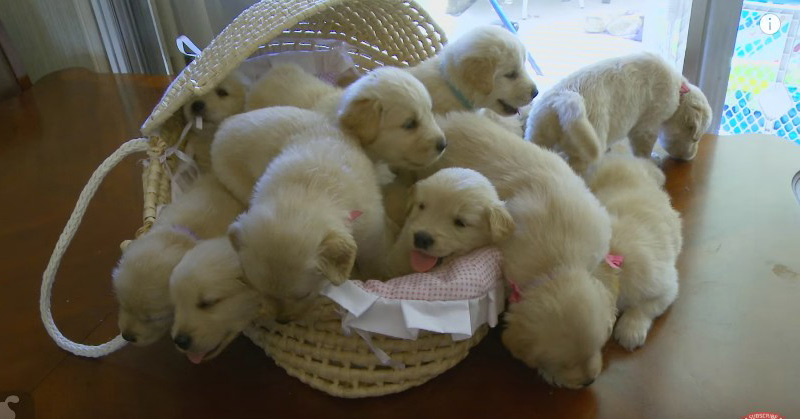 Lovable dogs so many golden retriever puppies cute compilation so many golden retriever puppies cute compilation puppy love voltagebd Gallery