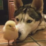 Husky and Baby Chick