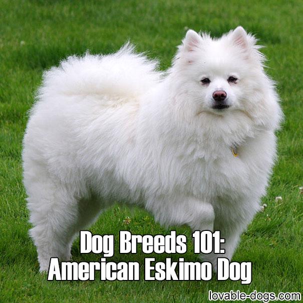 Dog Breeds 101 – American Eskimo Dog