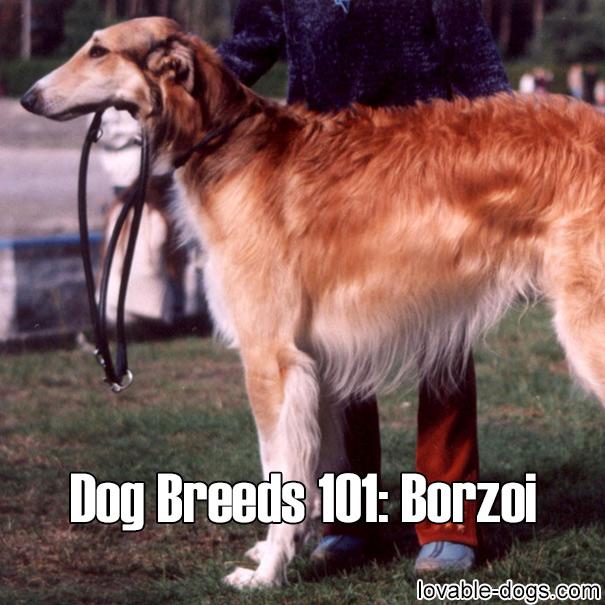 Dog Breeds 101 – Borzoi