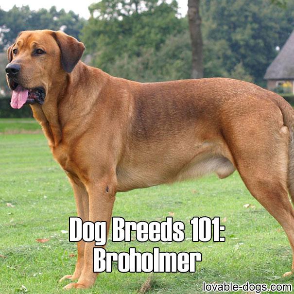 Dog Breeds 101 – Broholmer