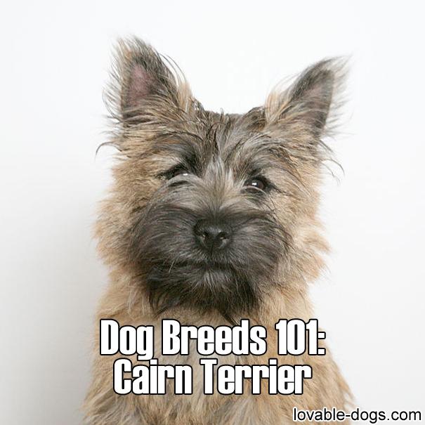 Dog Breeds 101 – Cairn Terrier