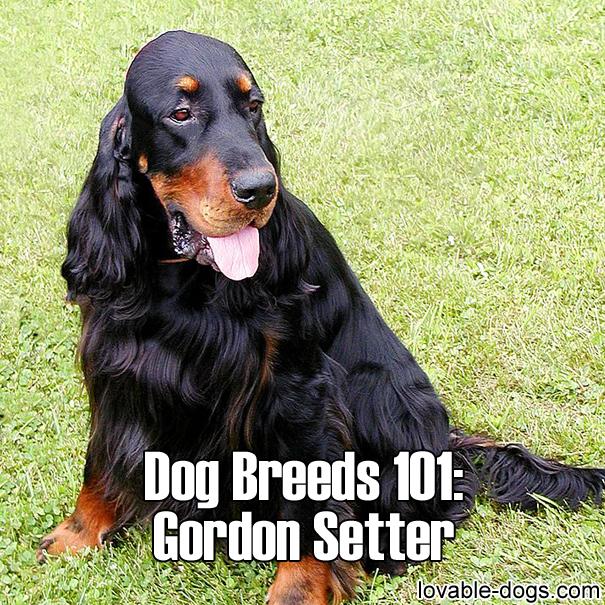 Dog Breeds 101 – Gordon Setter