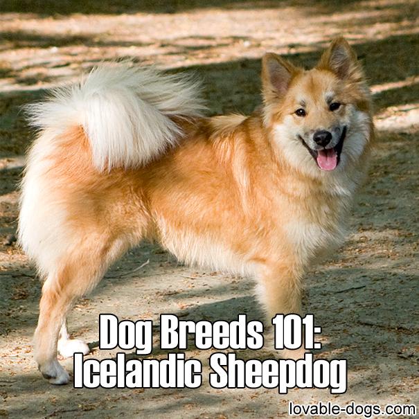 Dog Breeds 101 – Icelandic Sheepdog