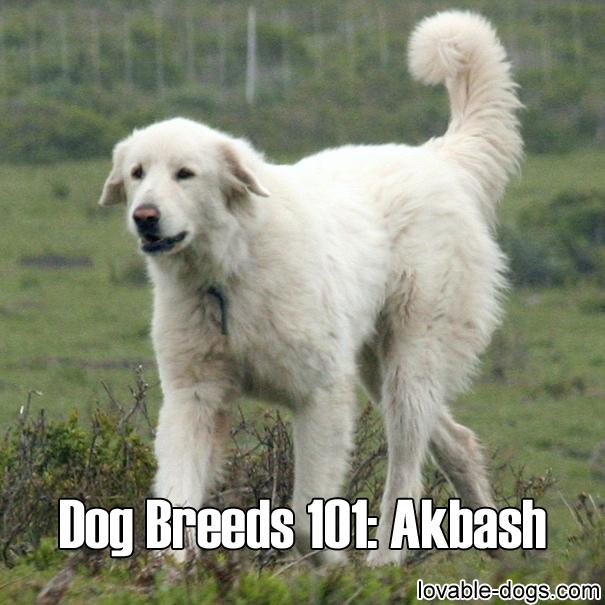 Dog Breeds 101 - Akbash