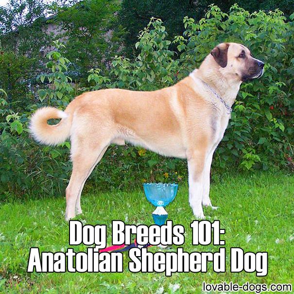 Dog Breeds 101 - Anatolian Shepherd Dog