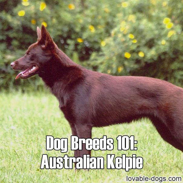 Dog Breeds 101 - Australian Kelpie