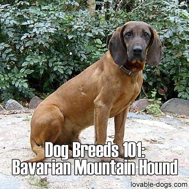 Dog Breeds 101 - Bavarian Mountain Hound