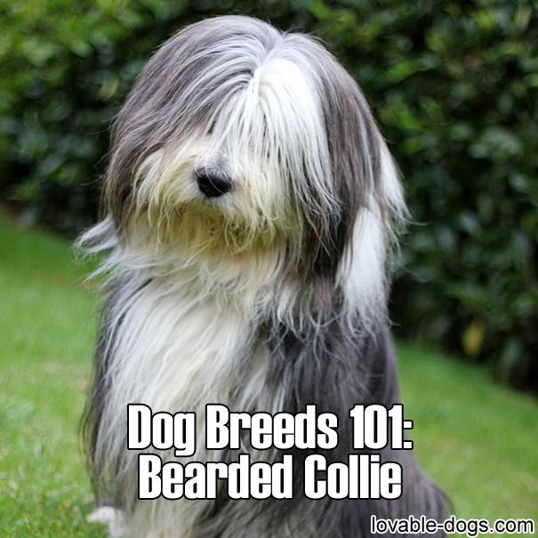 Dog Breeds 101 - Bearded Collie