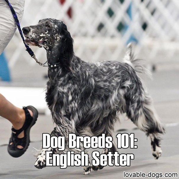 Dog Breeds 101 - English Setter