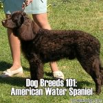 Dog Breeds 101: American Water Spaniel