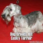 Dog Breeds 101: Cesky Terrier