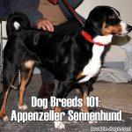 Dog Breeds 101: Appenzeller Sennenhund