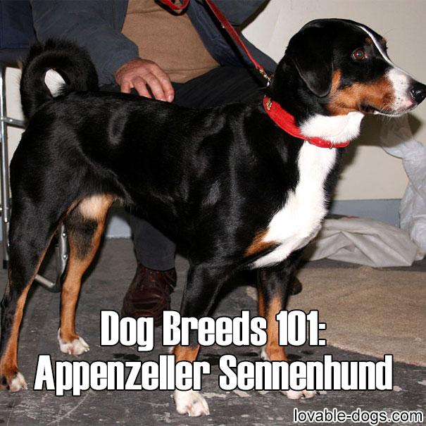 Dog breed - Appenzeller Sennenhund